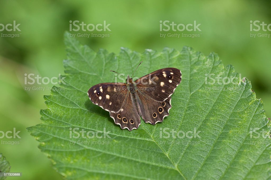 Speckled Wood - Pararge Aegeria stock photo