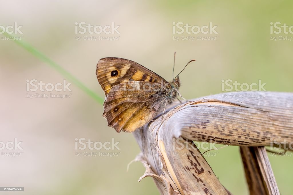 Speckled wood (Pararge aegeria) stock photo