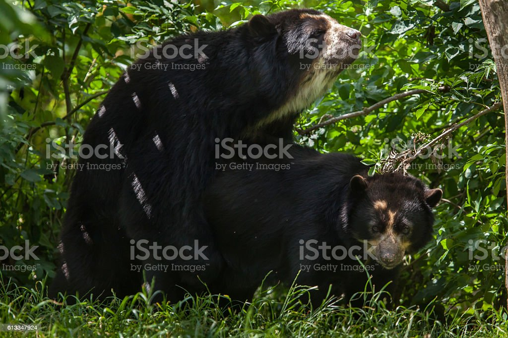 Spectacled bear (Tremarctos ornatus) stock photo