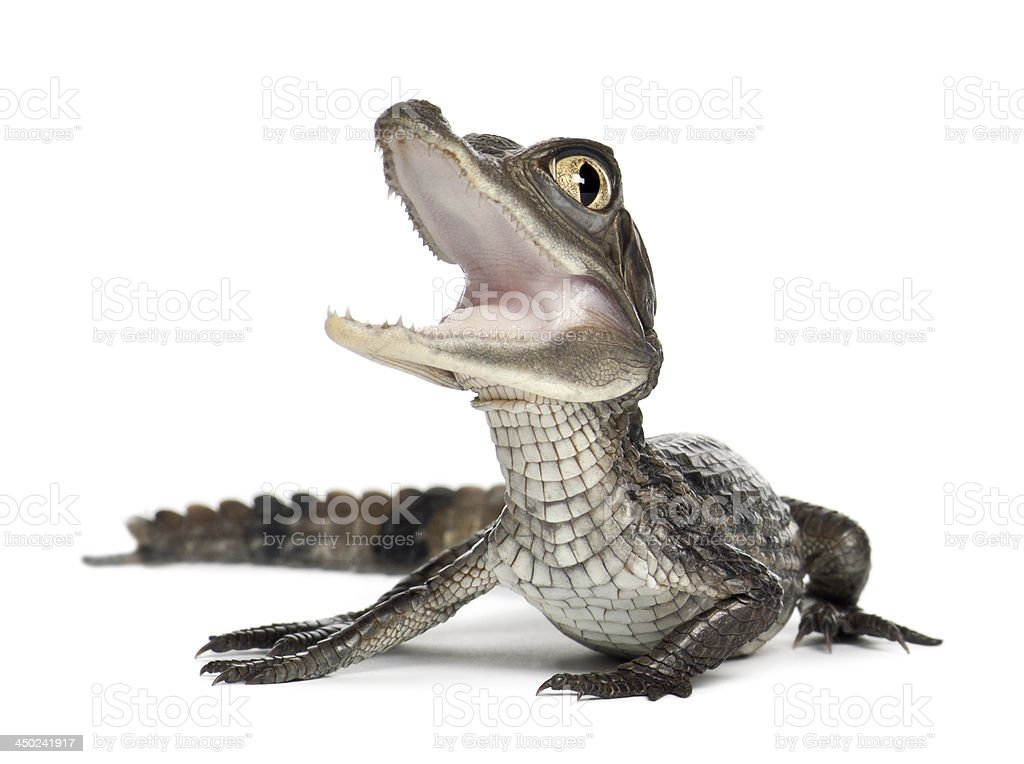 Spectacled Caiman, 2 month old stock photo