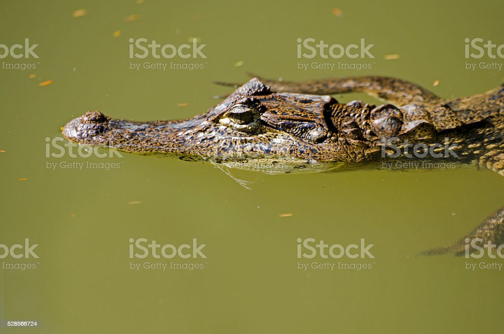 spectacled caiman, Caiman crocodilus stock photo