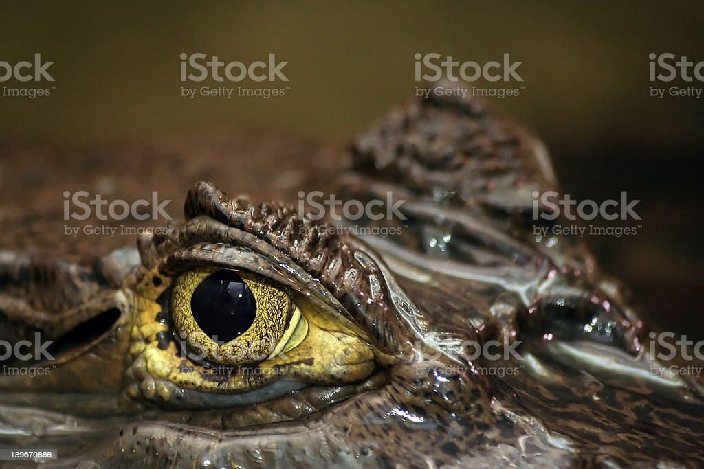 Spectacled Caiman's Eye royalty-free stock photo