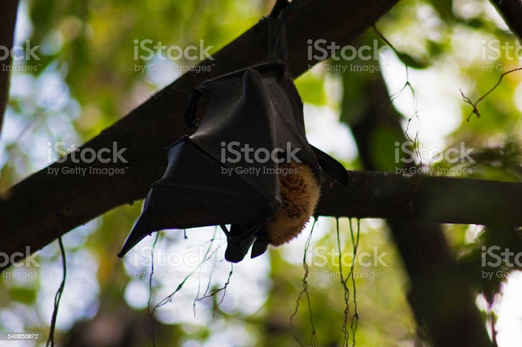 Spectacled Flying Fox, Fruit Bat Hanging from Tree stock photo
