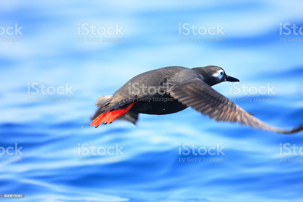 Spectacled Guillemot (Cepphus carbo) in hokkaido Japan stock photo