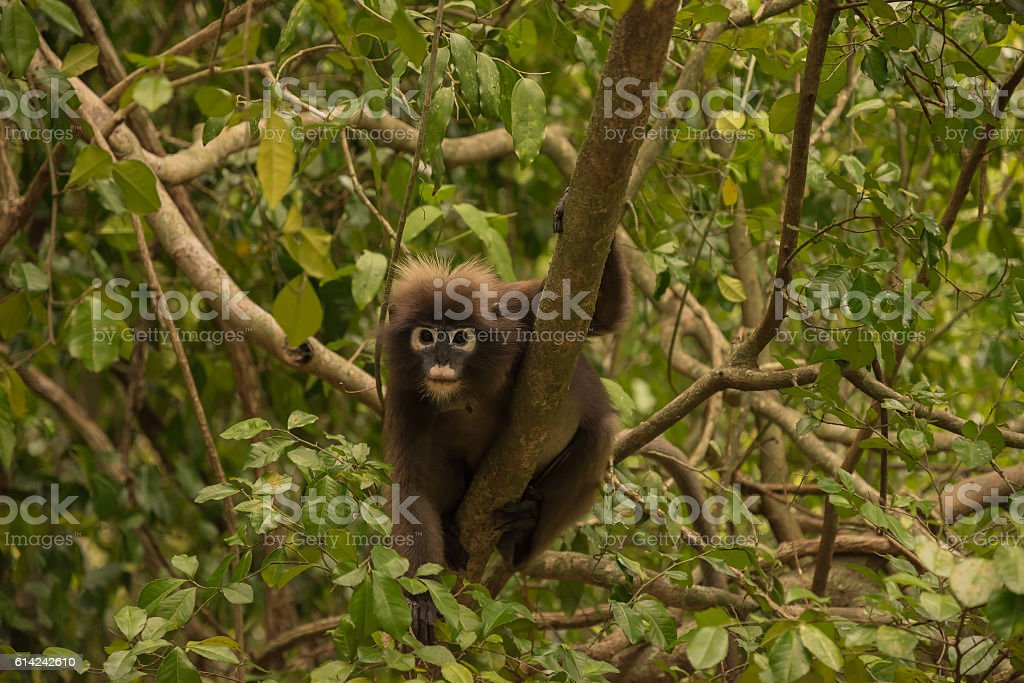 Spectacled langur thailand stock photo