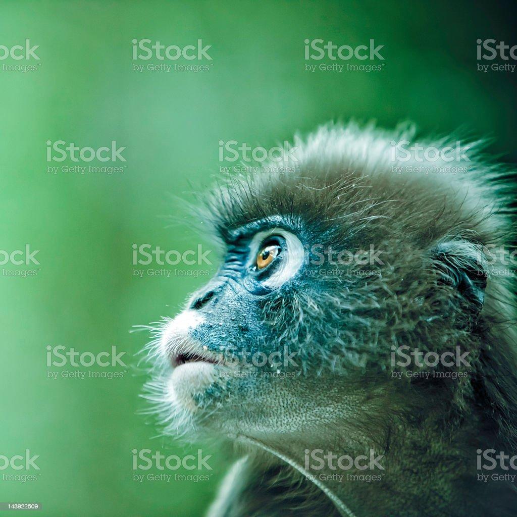Spectacled leaf monkey royalty-free stock photo