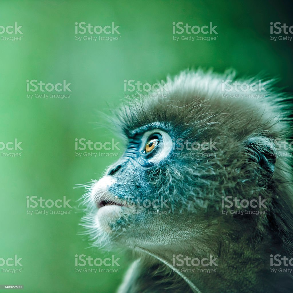 Spectacled leaf monkey stock photo