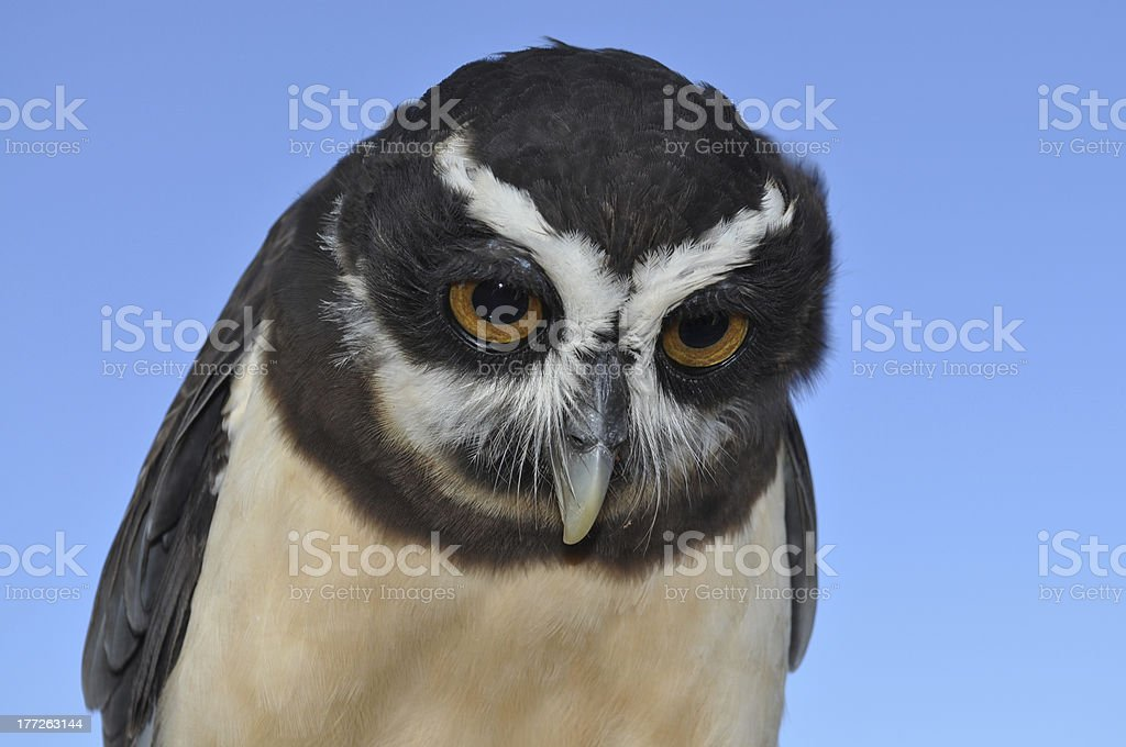 Spectacled Owl royalty-free stock photo