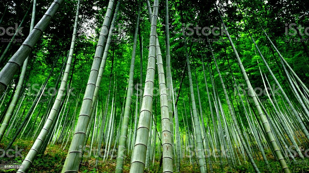 Spectacular bamboo forest 002 stock photo