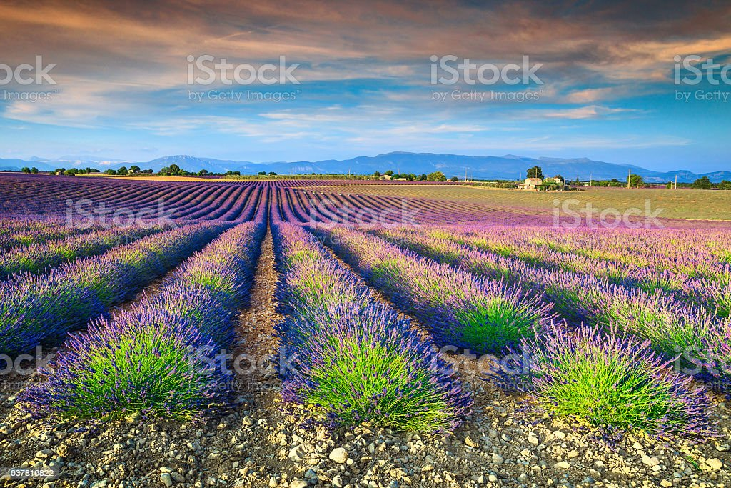 Spectacular lavender fields in Provence region, Valensole, France, Europe stock photo