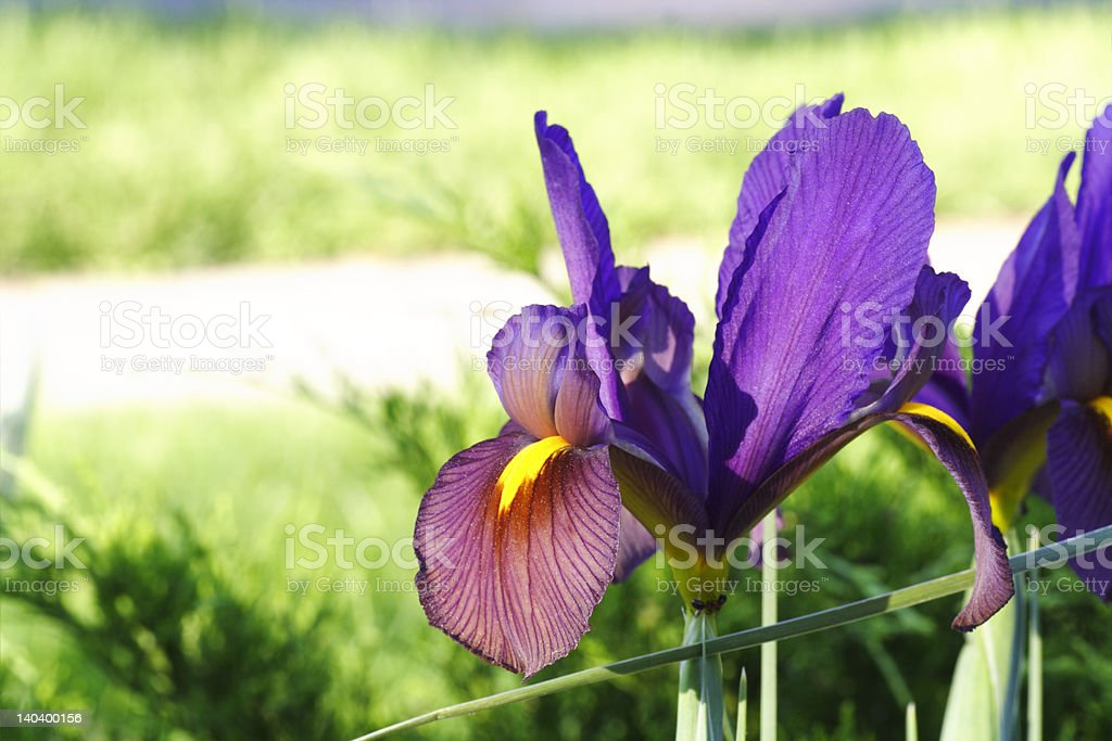 Spectacular Purple Iris Flower in Full Bloom royalty-free stock photo