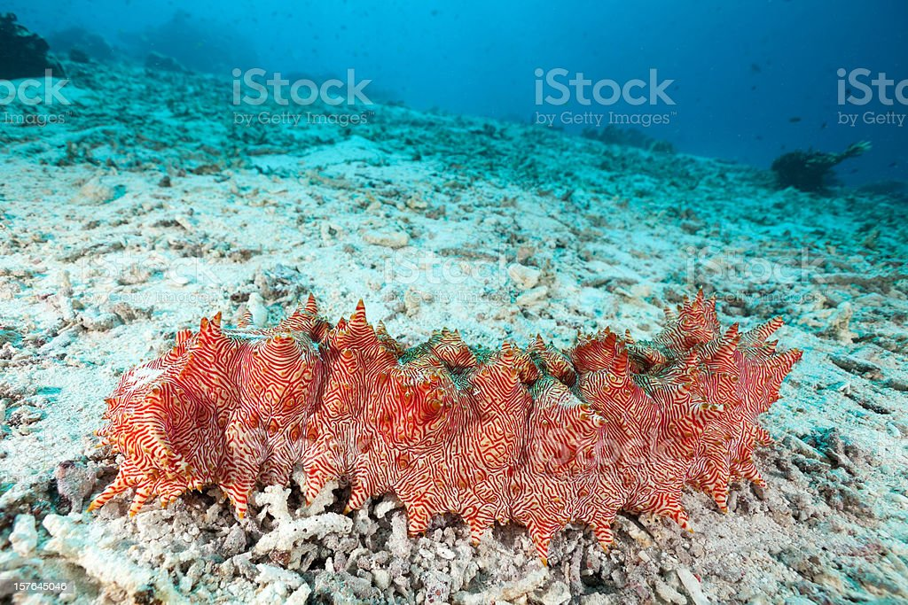 Spectacular Red-lined Sea Cucumber at Moyo Island, Sumbawa, Indonesia stock photo
