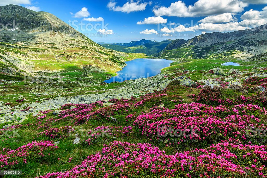 Spectacular rhododendron flowers and Bucura mountain lakes,Retezat mountains,Romania stock photo