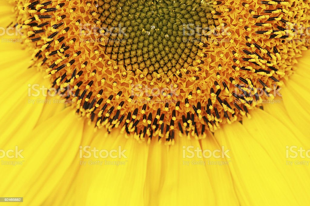Spectacular Sunflower Detail royalty-free stock photo