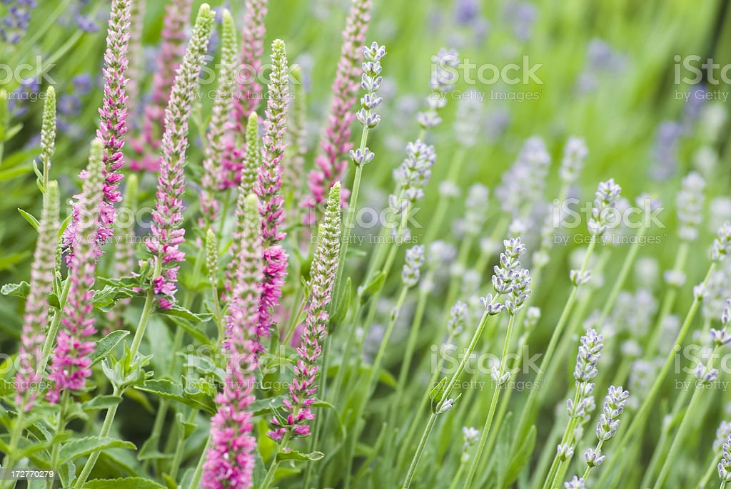 Speedwell (Veronica spicata) & Lavender - II royalty-free stock photo