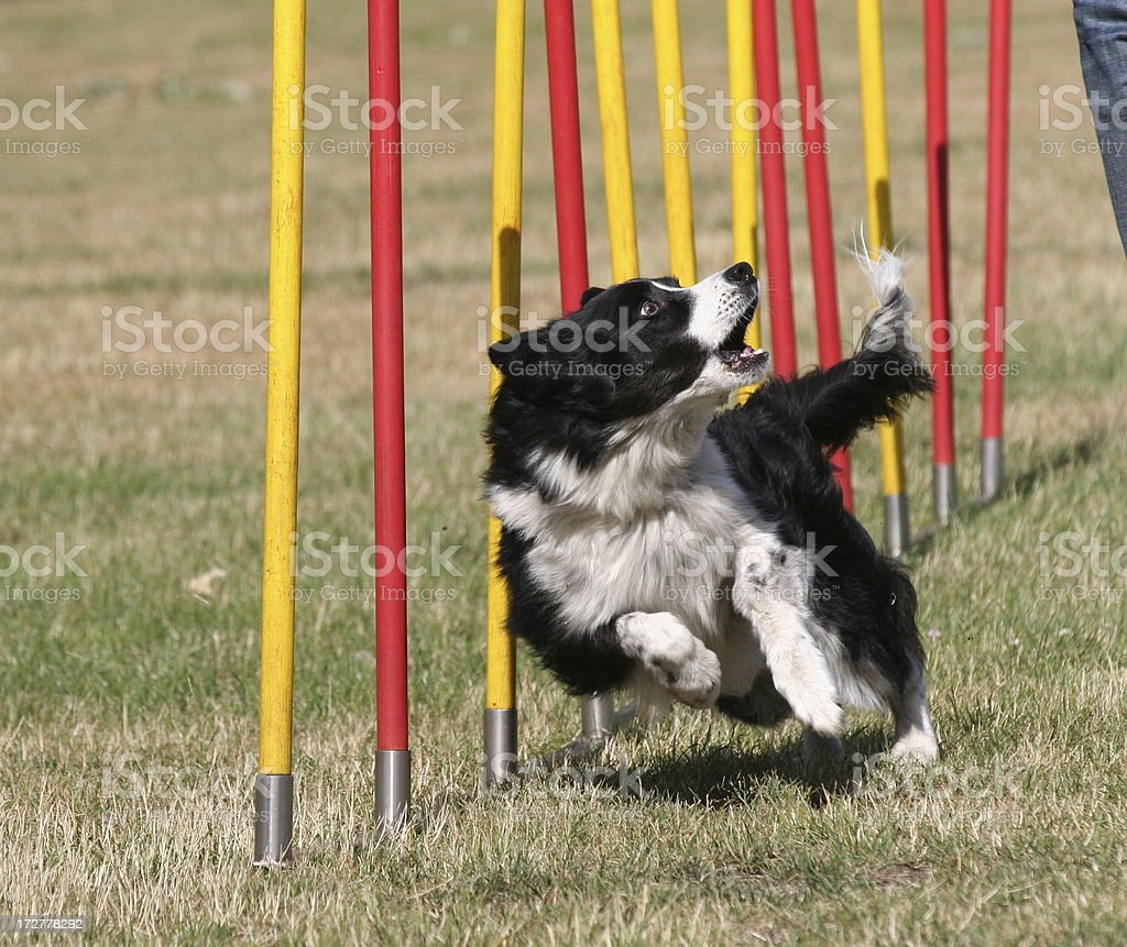 Speedy Border Collie doing weaves poles royalty-free stock photo