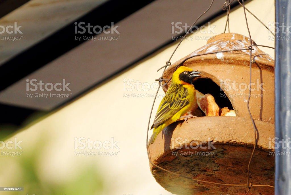 A Speke's Weaver on hanging bird house, Kenya stock photo
