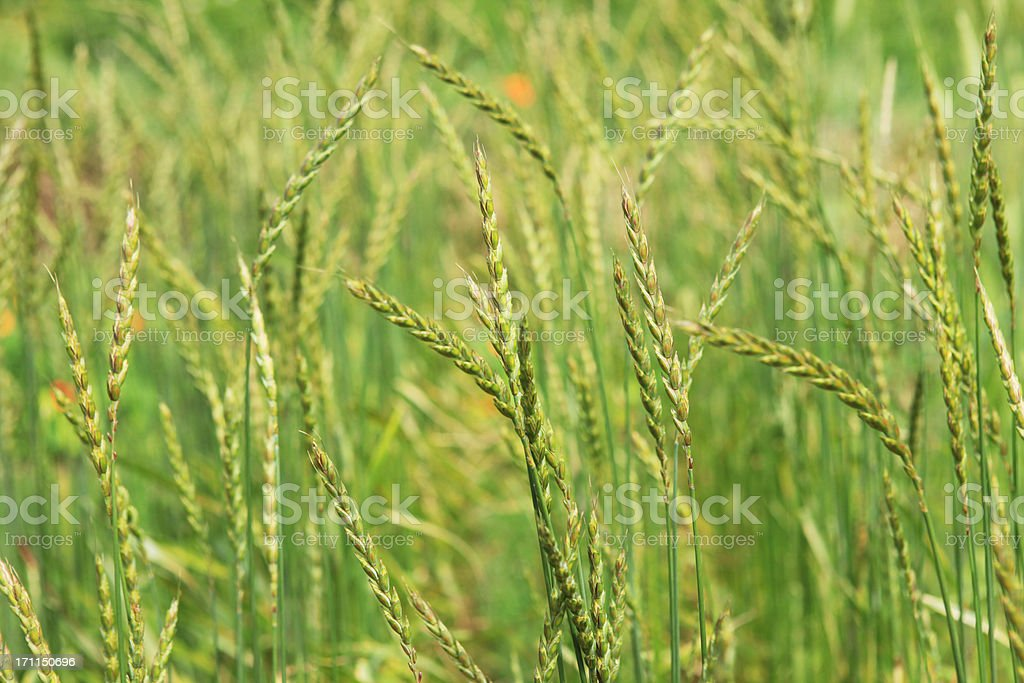 Spelt ears close-up - organic cultivated royalty-free stock photo
