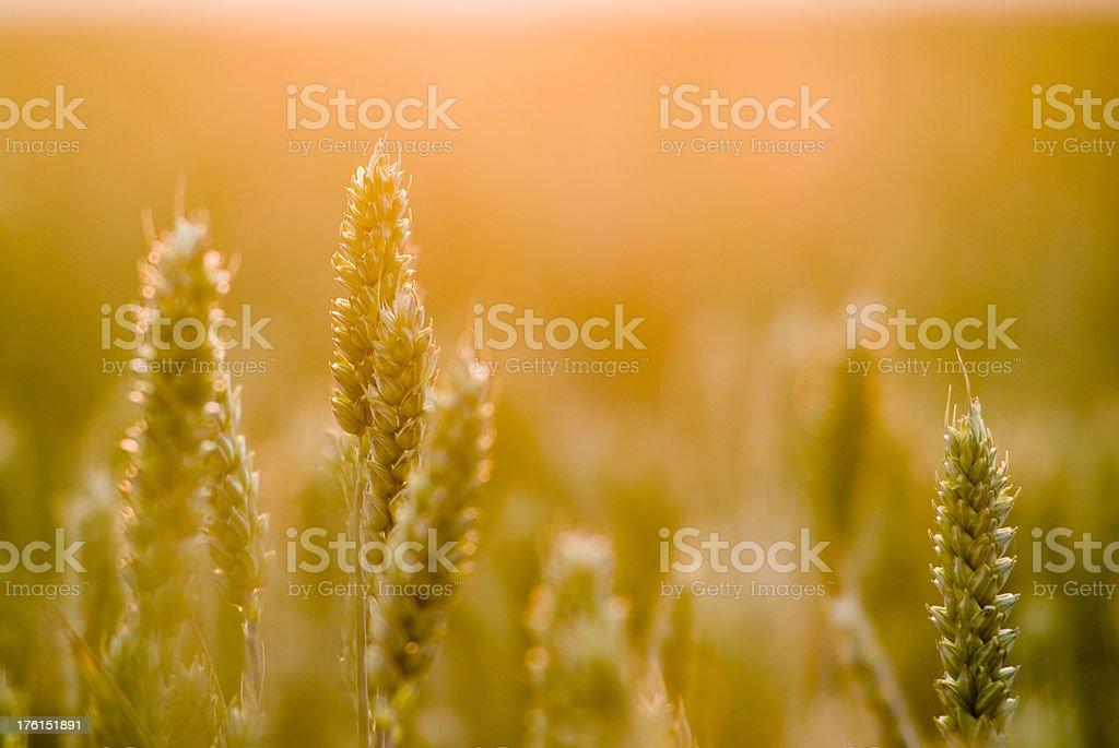 Spelt Field Sunset stock photo
