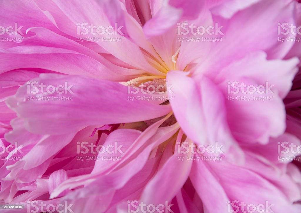 Spent peony with petals in disarray. stock photo