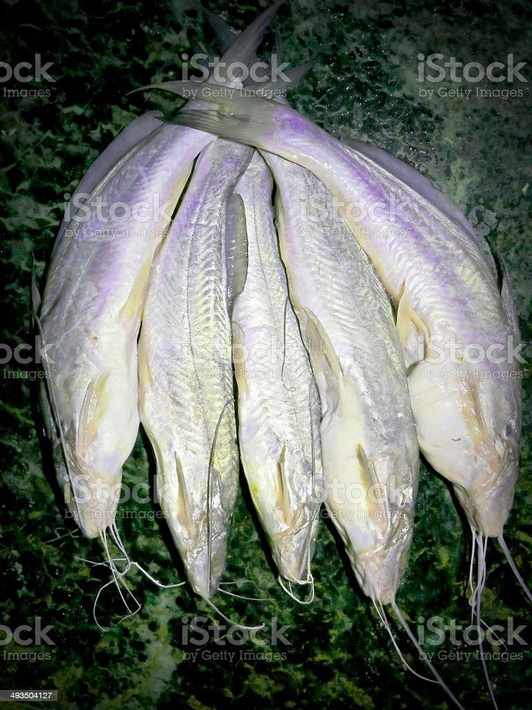 Sperata seenghala, Sykes, Giant river-catfish royalty-free stock photo