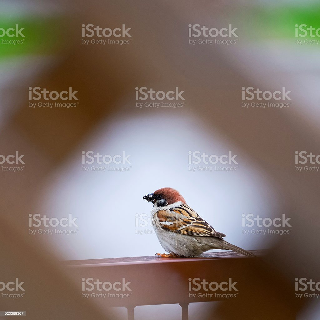 Sperling with insect in beak stock photo