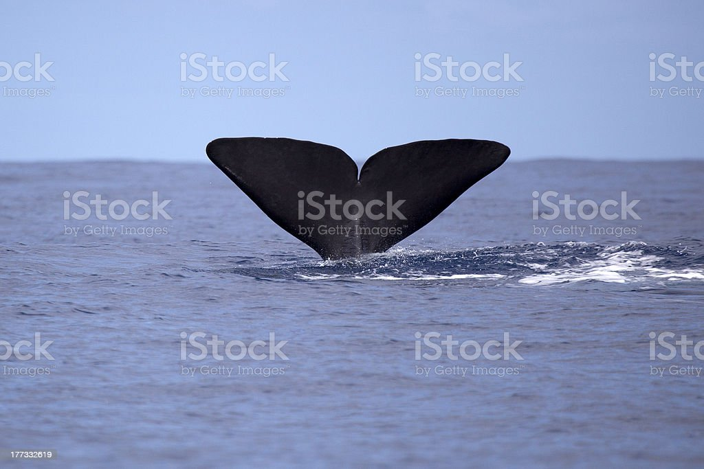 Sperm whale going deep stock photo