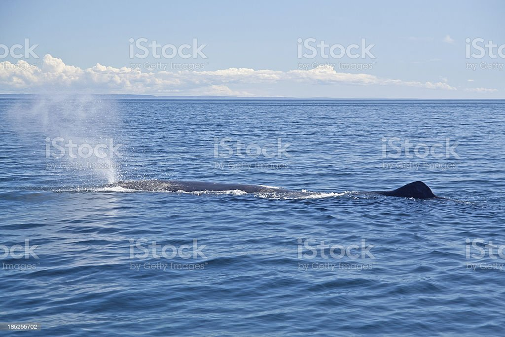 Sperm Whale, Physeter macrocephalus, blowing. Newfoundland, Canada. royalty-free stock photo