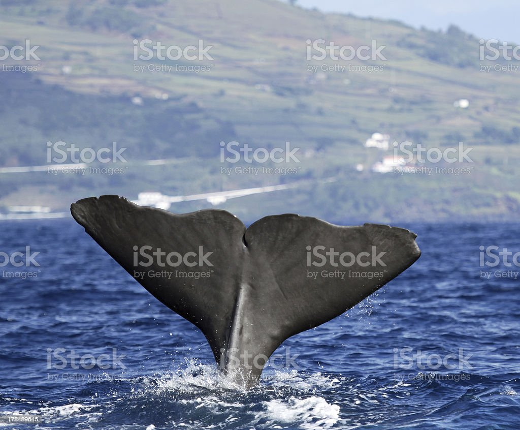 Sperm whale - Pico island, Azores royalty-free stock photo