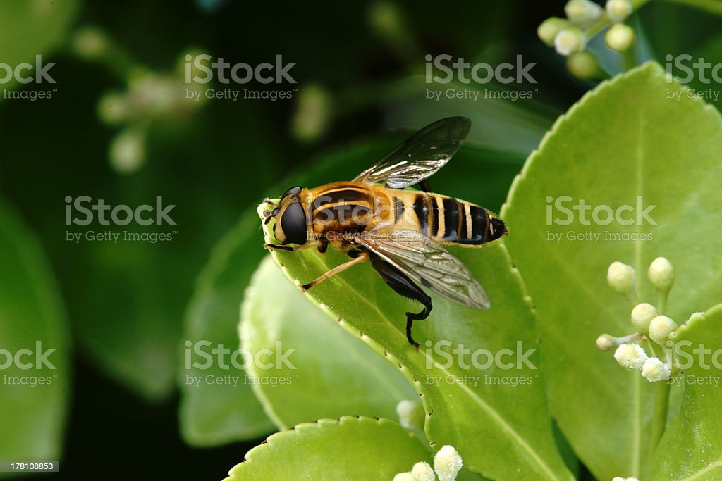 Sphaerophoria scripta stock photo
