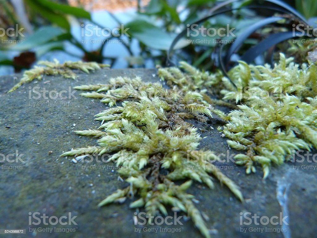 Sphagnum colonizing a rock stock photo