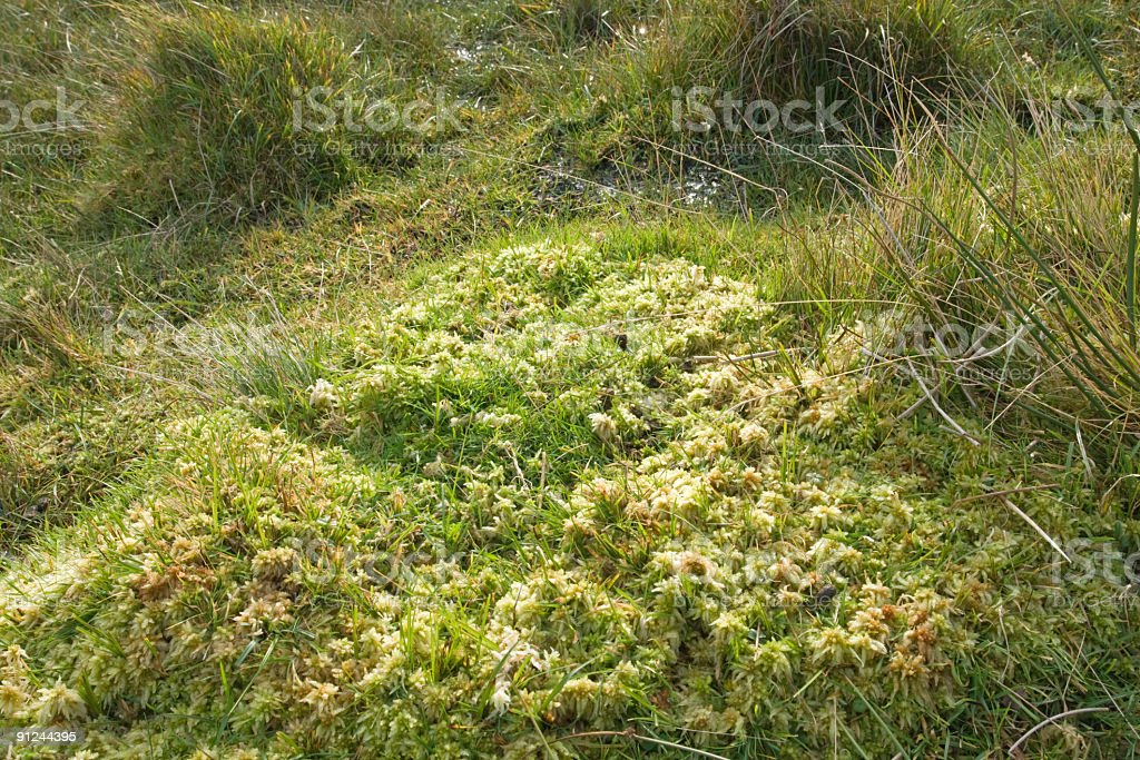 Sphagnum moss in a bog on Shetland royalty-free stock photo