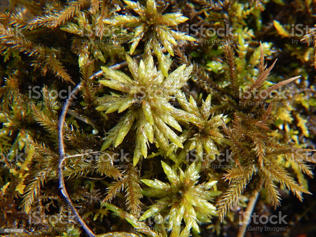 Sphagnum Moss in spring stock photo