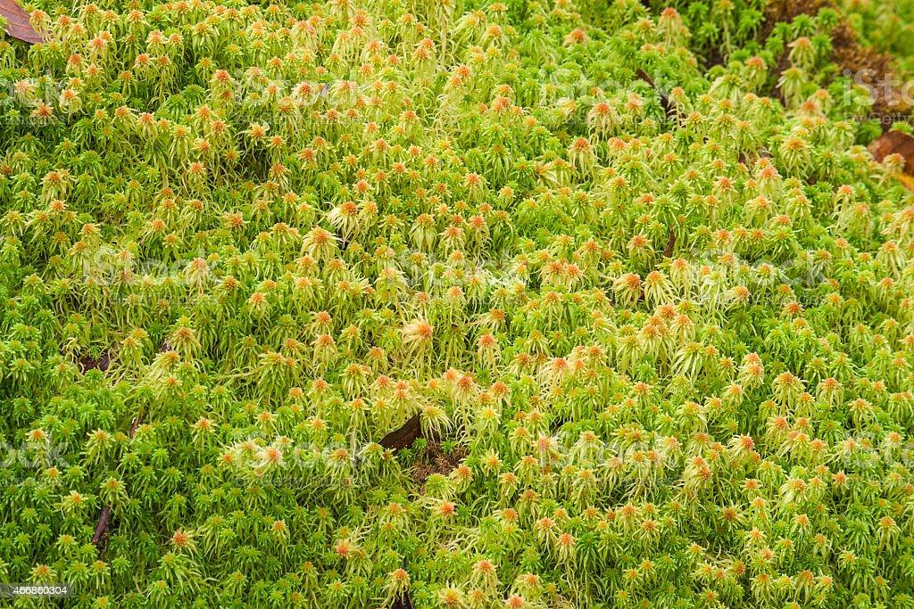 Sphagnum moss. stock photo