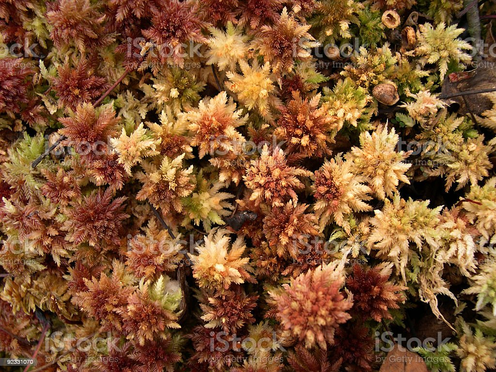sphagnum moss royalty-free stock photo