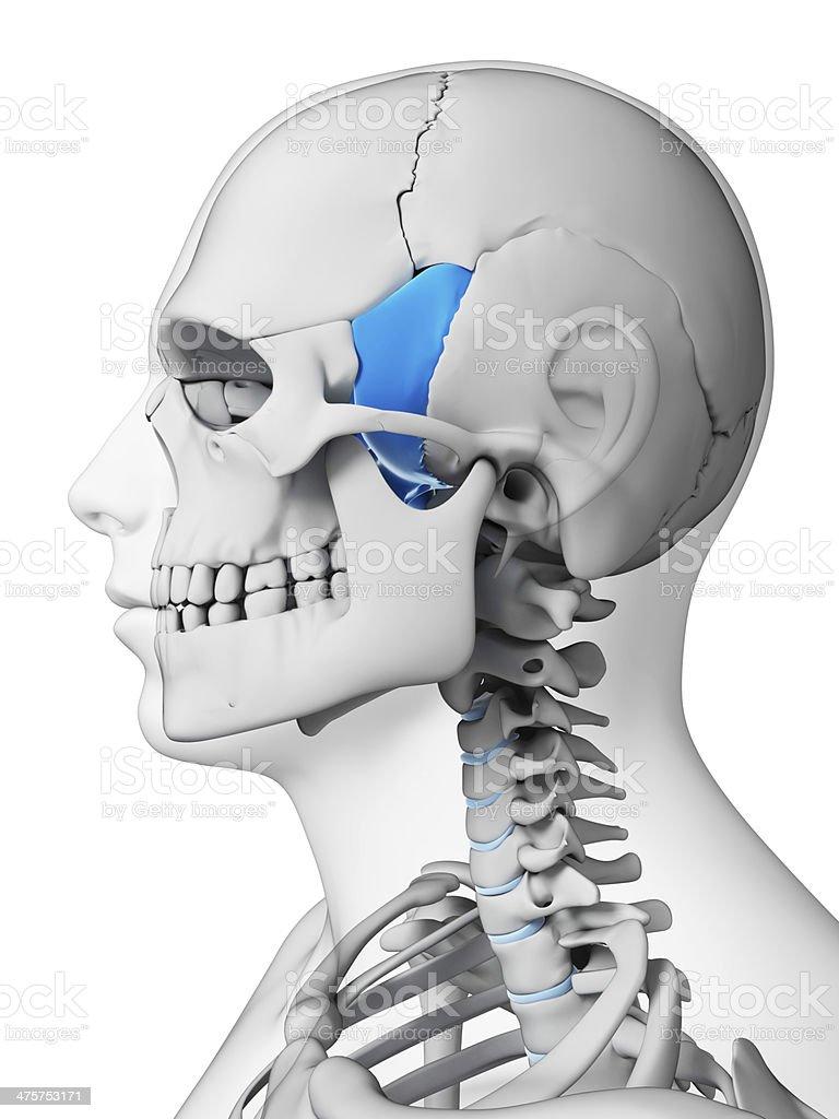 kość klinowa zdjęcia stockowe 475753171 | istock, Sphenoid