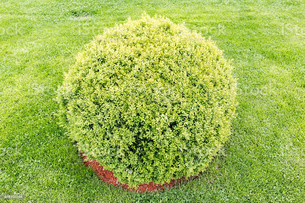 Spherical green bush stock photo