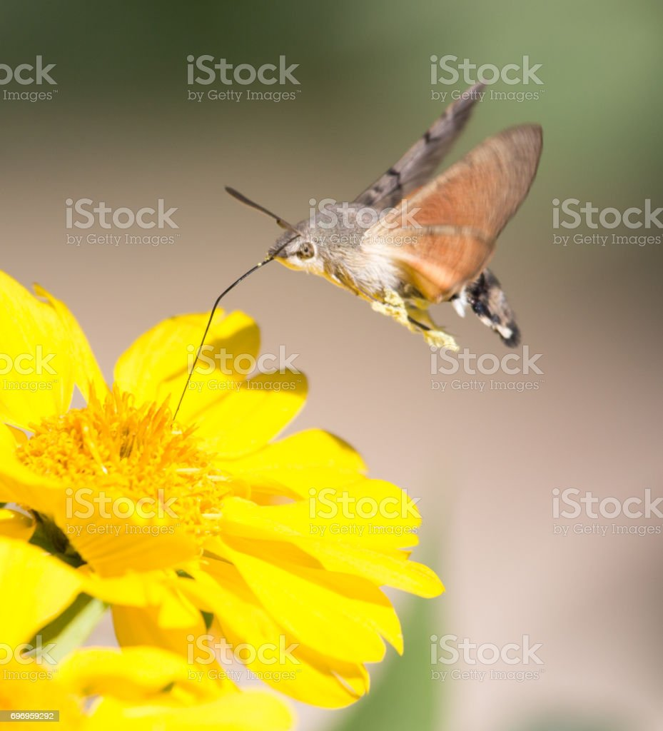 Sphingidae, known as bee Hawk-moth, enjoying the nectar of a yellow flower stock photo