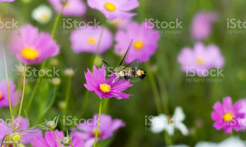 Sphingidae or Pellucid Hawk Moth or Hummingbird Hawk Moth, resemble hummingbirds and butterflies discover at Chiang Mai, Thailand Is it feeding nectar of pink cosmos flower with nature. stock photo