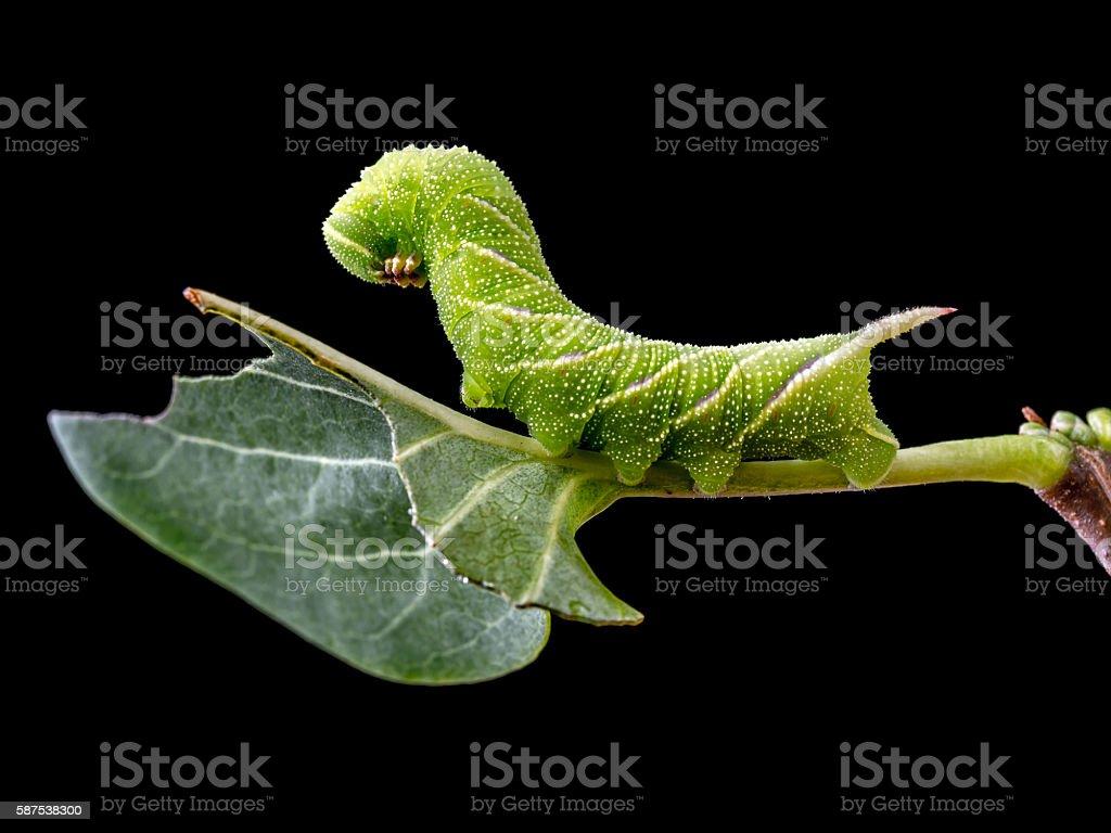 Sphinx ligustri caterpillar on leaf stock photo