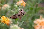 Sphinx Moth 'Eumorpha achemon'