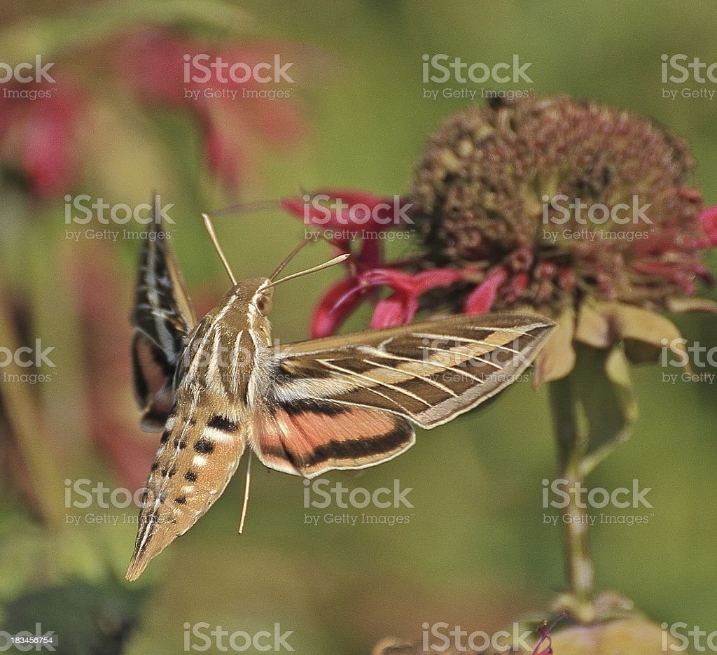 Sphinx Moth stock photo