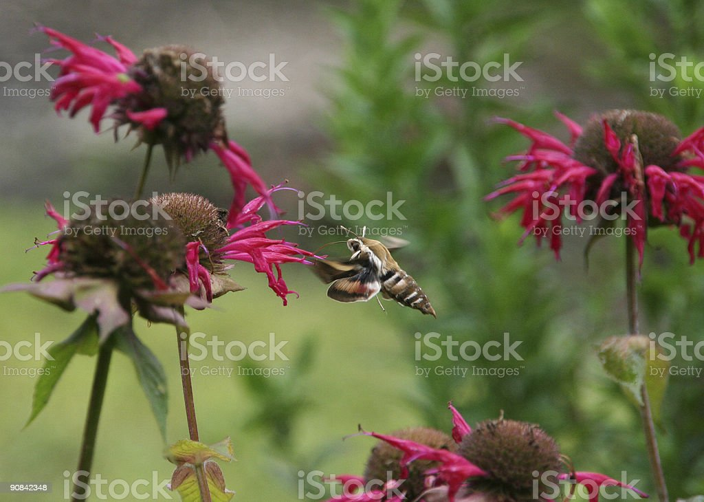 Sphinx moth  with wings in motion,  on Bee Balm stock photo