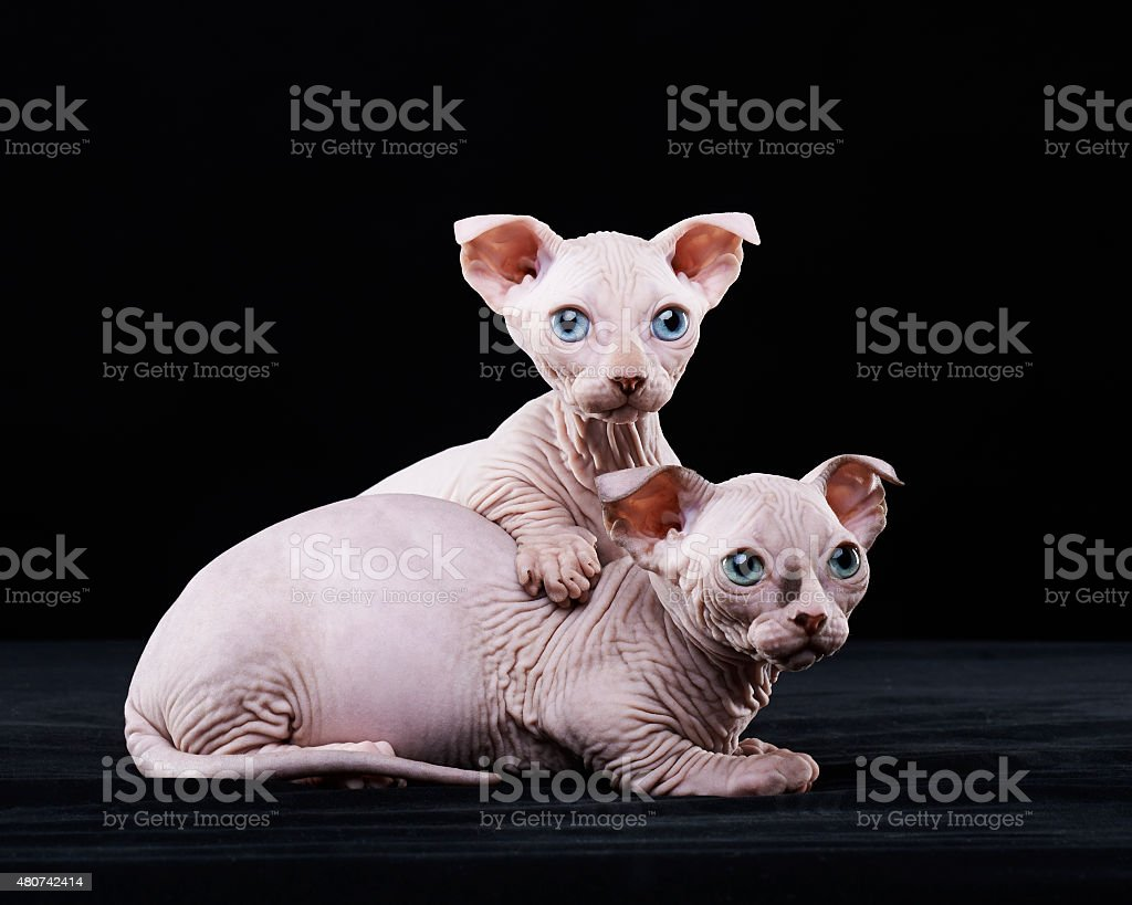 Sphynx cat brothers stock photo