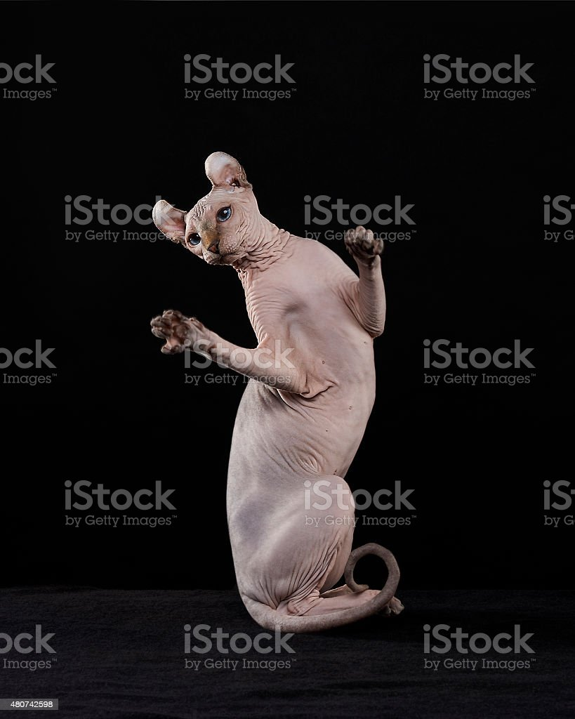 Sphynx cat dancing stock photo