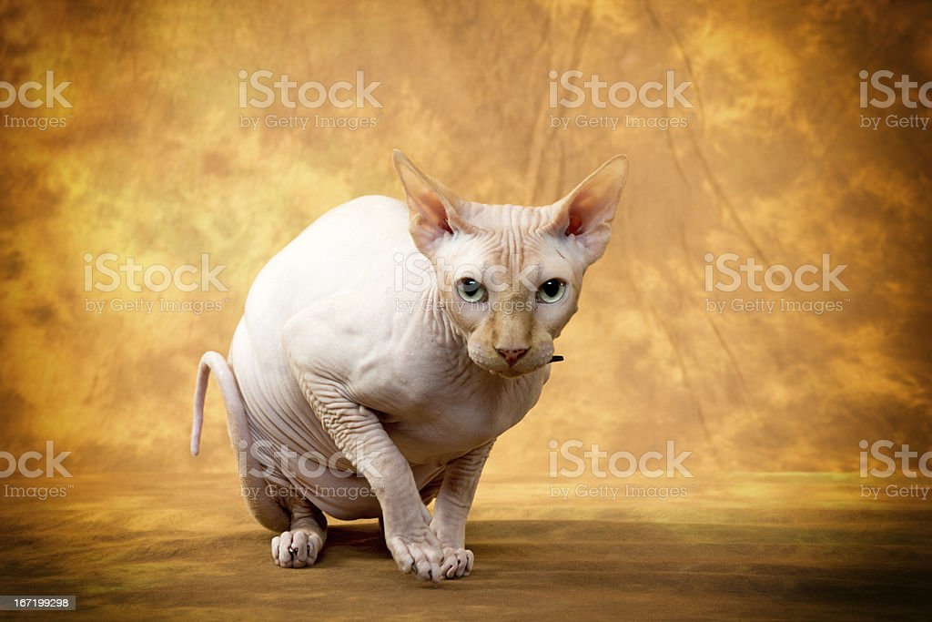 sphynx cat royalty-free stock photo