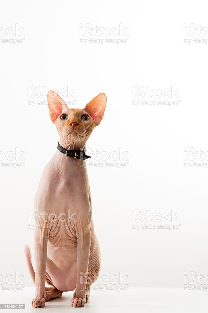 sphynx cat royalty-free stock photo