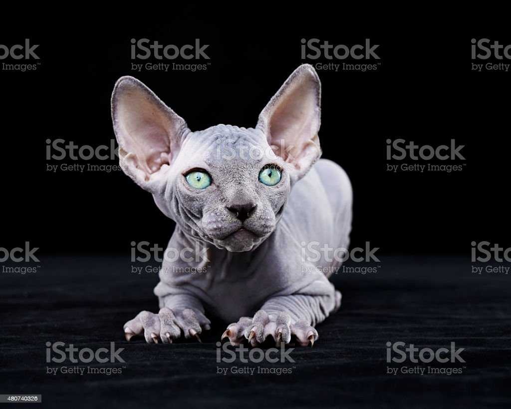 Sphynx cat with green eyes stock photo