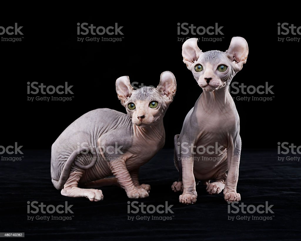 Sphynx cats stock photo