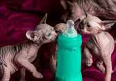 Sphynx hairless cats